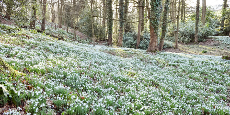 snowdrops-cotswolds-square