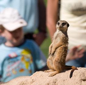 Meerkat on the lookout.