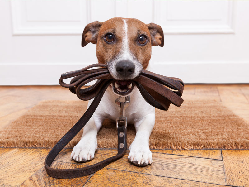 Dog with a lead in its mouth ready for its holiday!