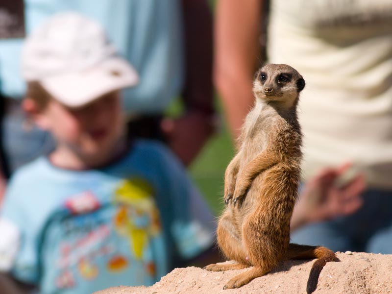Meerkat standing up!
