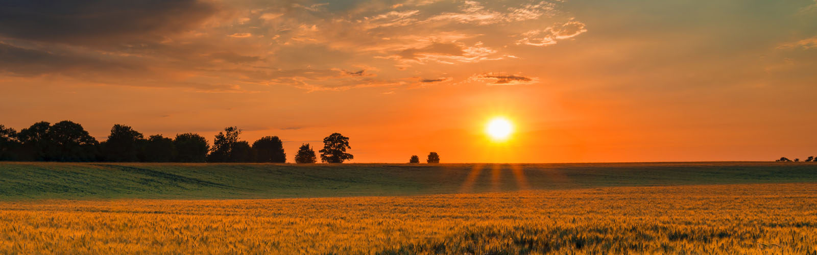 Sunset over a wheat field in Northamptonshire.