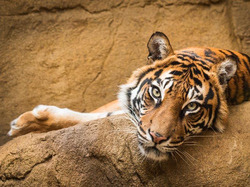 Tiger in a wildlife park.